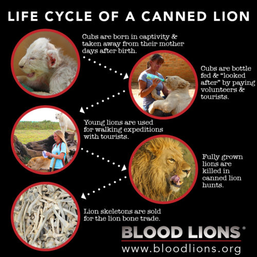 Blood-Lions.-Life-Cycle-of-a-Canned-Lion.-MR