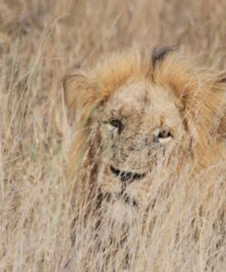 """Keep Africa's Lions Wild"". Jessica Watermeyer. South Africa"